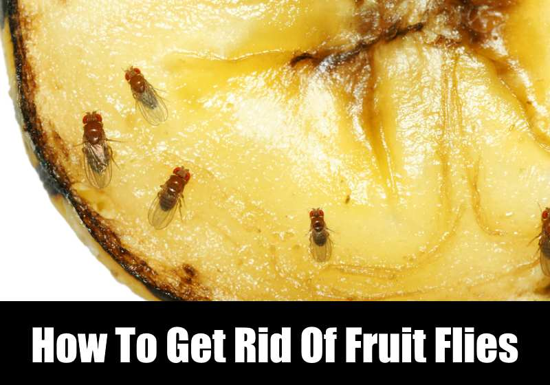 egg fruit how to get rid of fruit flies
