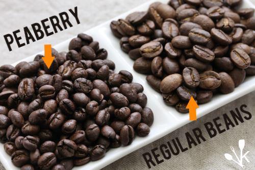 Peaberry VS Regular Coffee Bean